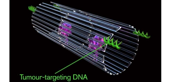 The DNA aptamer (pictured) could specifically target a protein (called nucleolin) that is made in high amounts only on the surface of tumour endothelial cells. | Jason Drees, Arizona State University